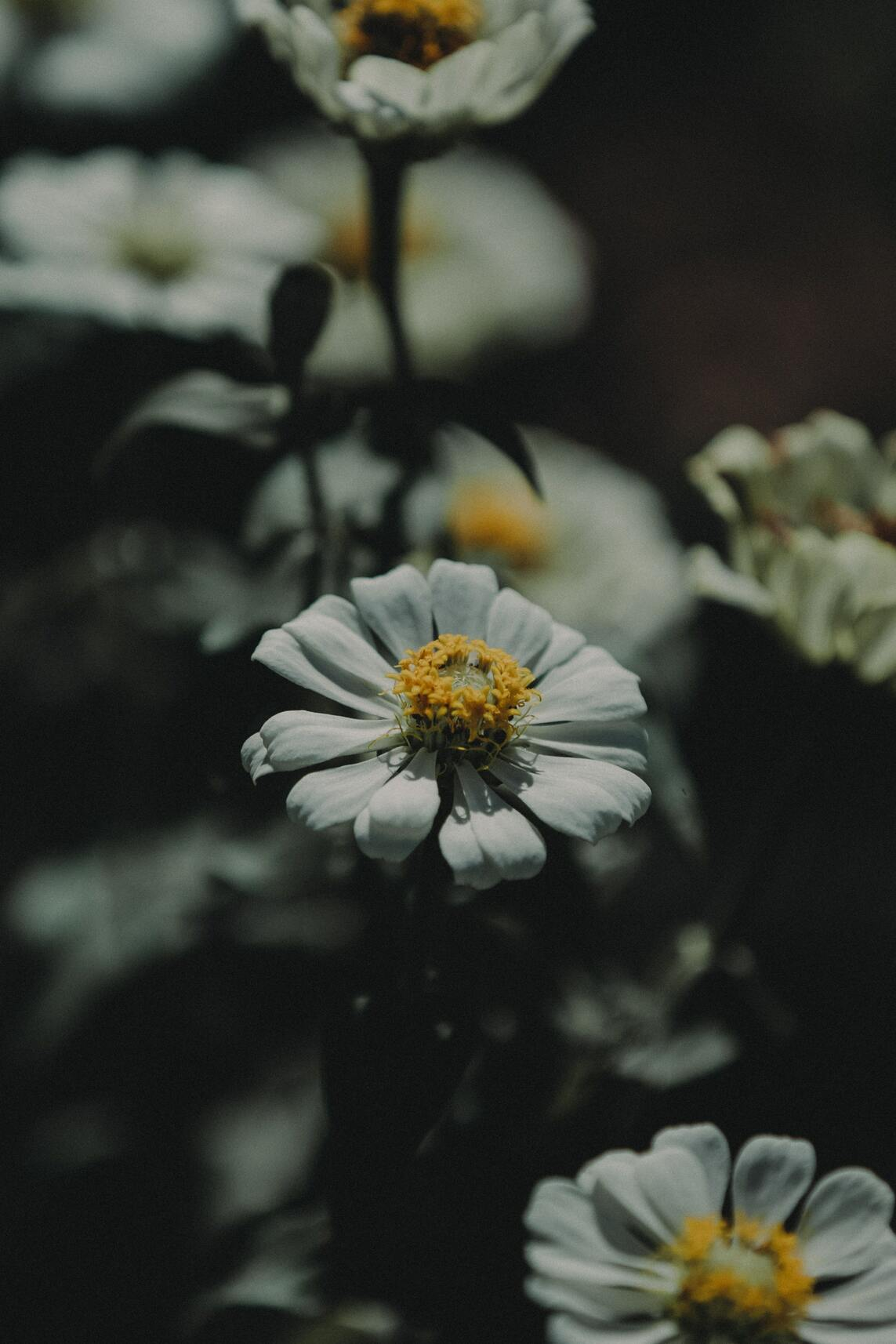 Hình ảnh anh hoa cúc dại trắng đẹp
