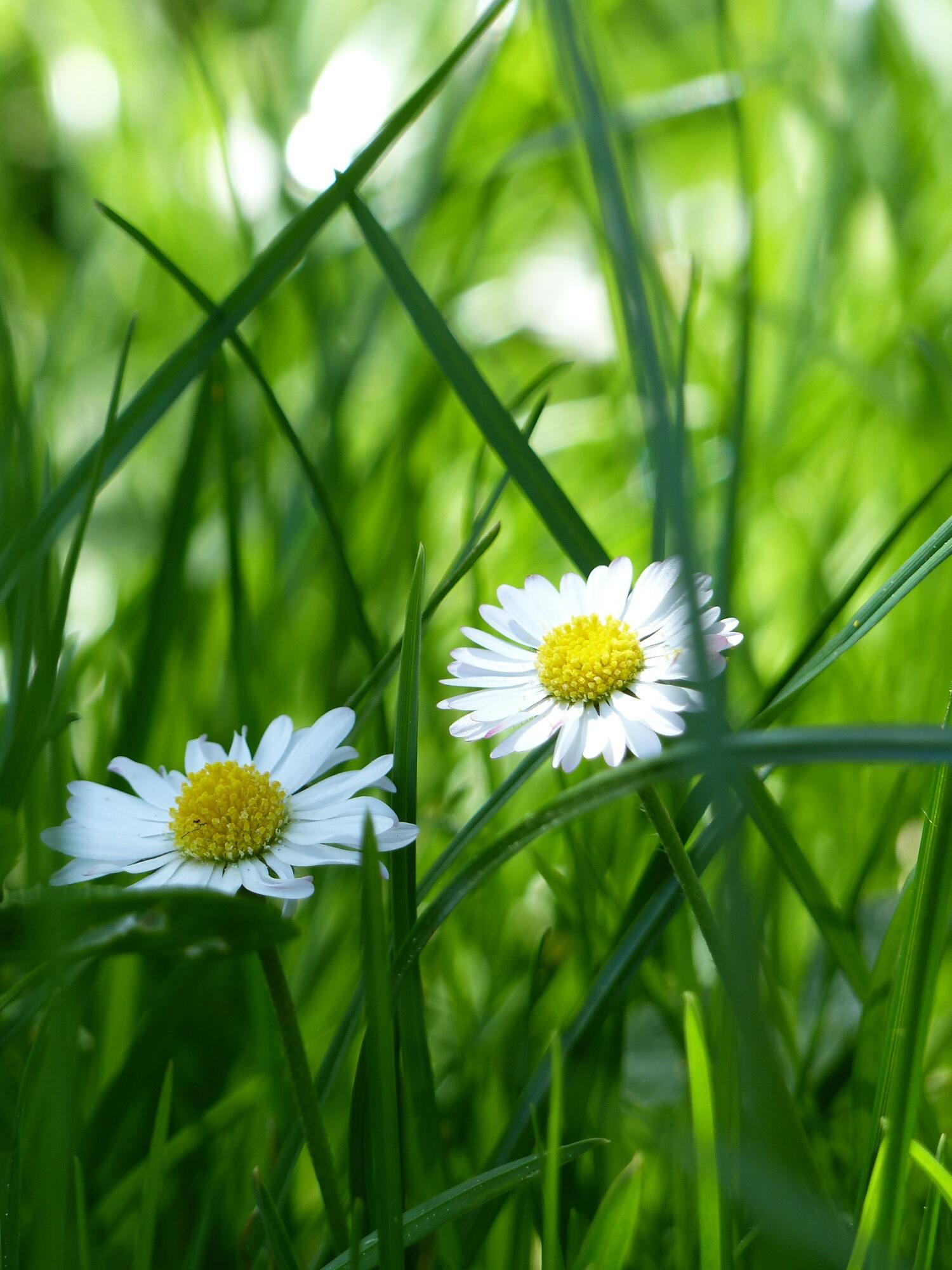 Hình ảnh bông hoa cúc dại cực đẹp