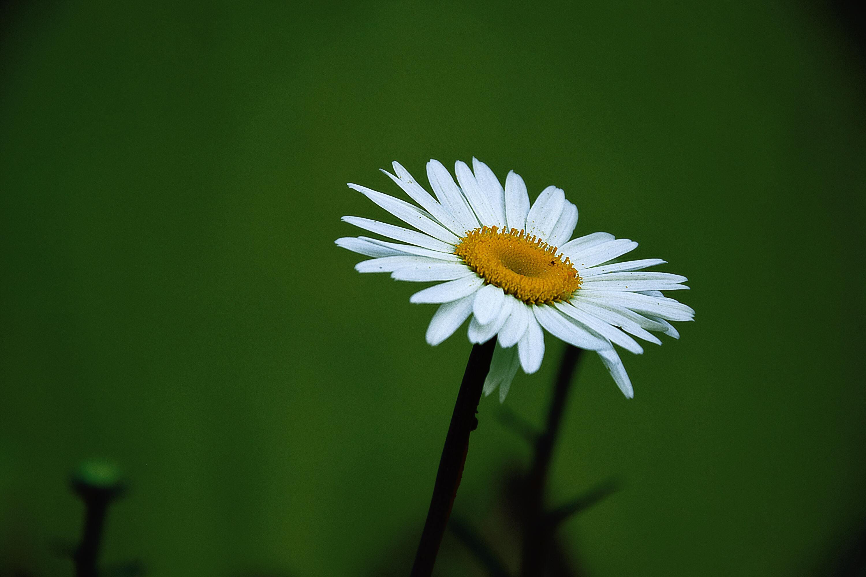 Hình ảnh bông hoa cúc dại nở đẹp nhất