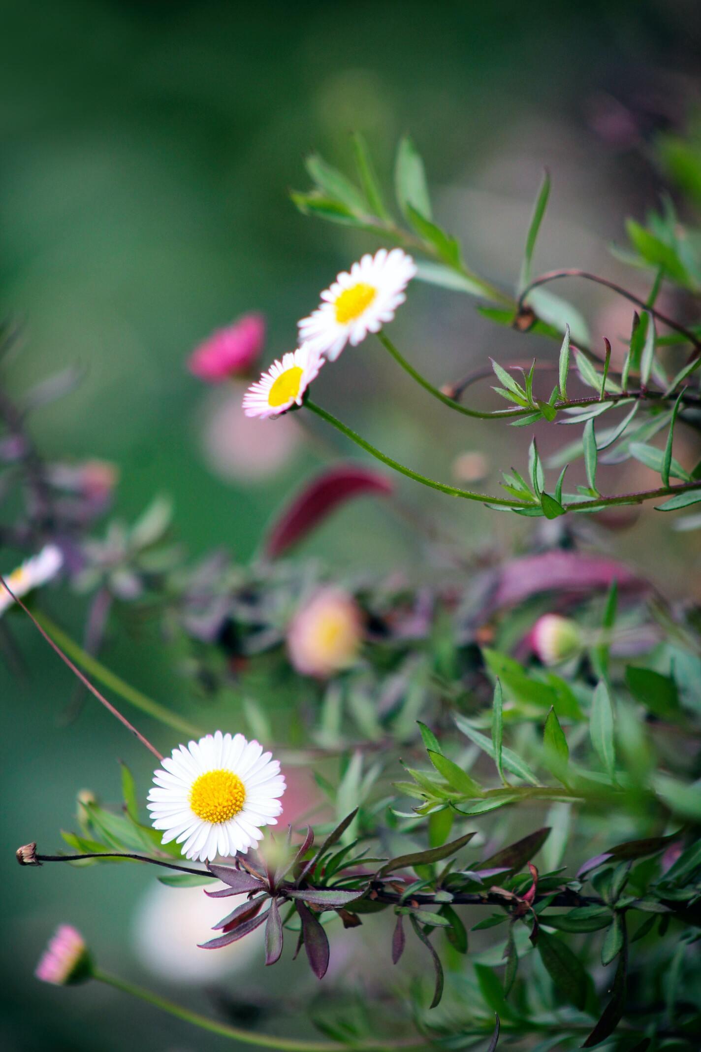Hình ảnh bông hoa cúc dại