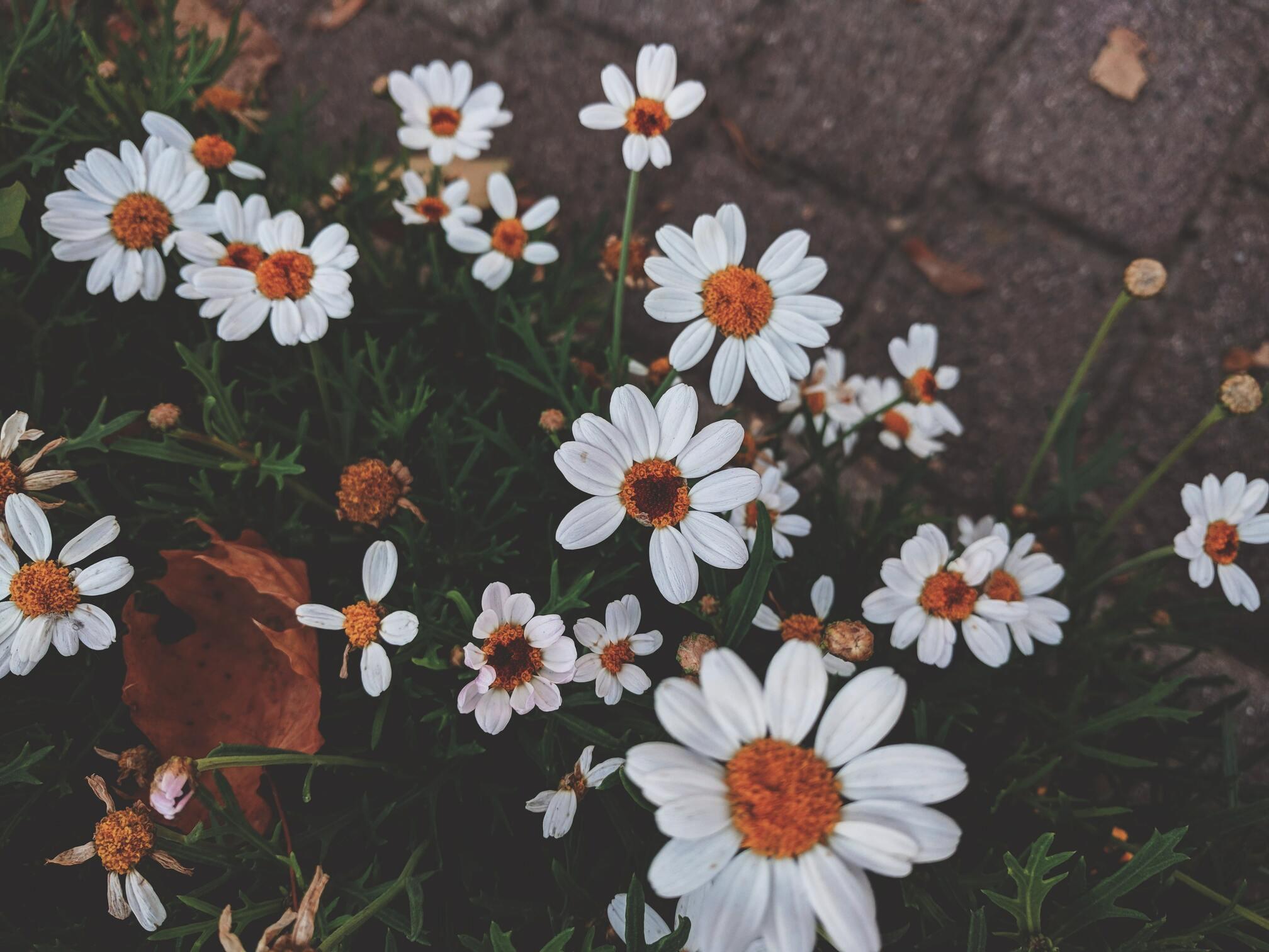 Hình ảnh bông hoa cúc hoạ mi cực đẹp
