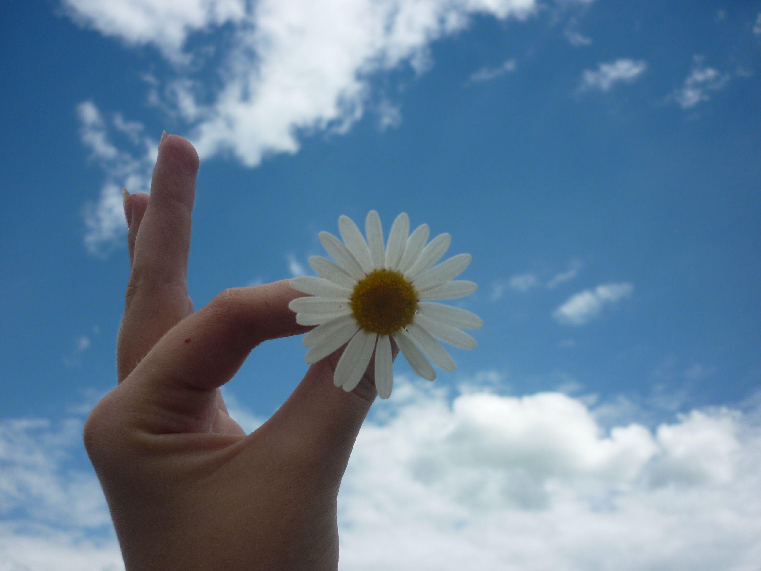 Hình ảnh bông hoa cúc hoạ mi đẹp nhất