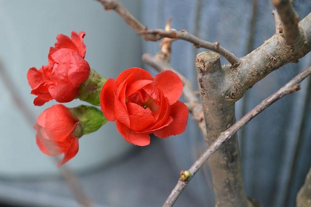 Hình ảnh bông hoa mai đỏ chớm nở