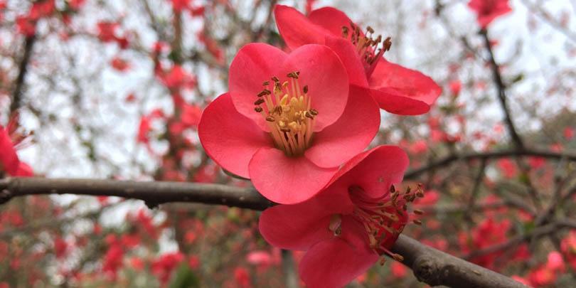 Hình ảnh bông hoa mai đỏ nở