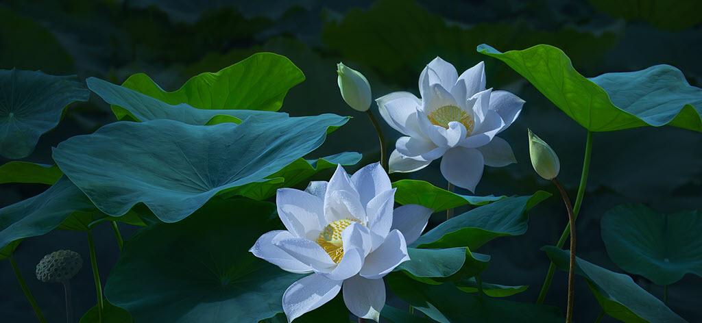Hình ảnh bông hoa sen đẹp