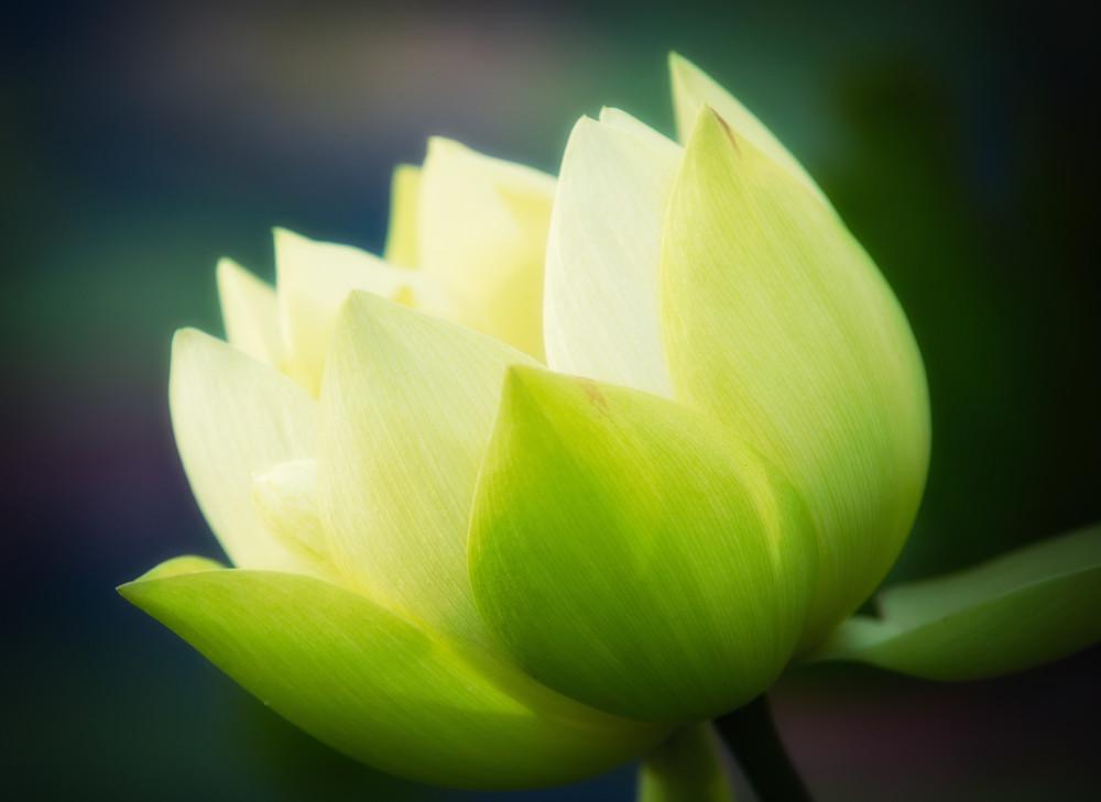 Hình ảnh bông hoa sen màu xanh lá cây đẹp