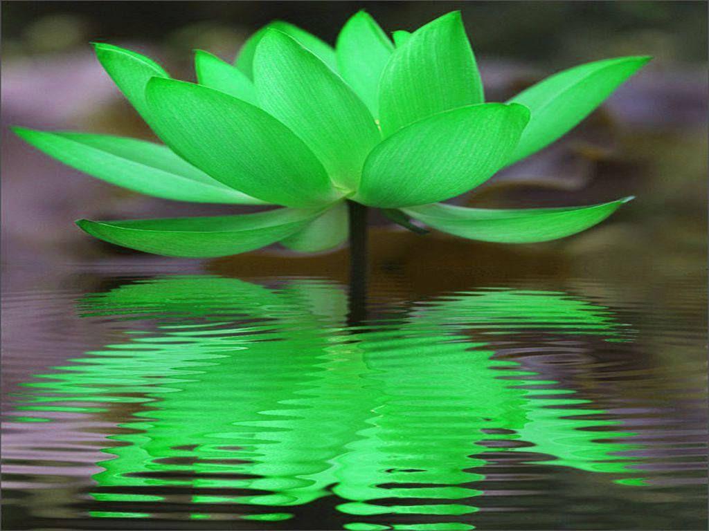 Hình ảnh bông hoa sen màu xanh lá cây