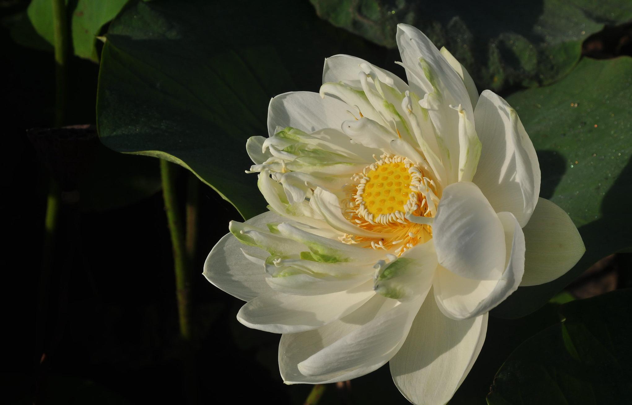 Hình ảnh bông hoa sen trắng