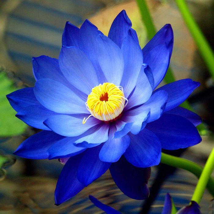 Hình ảnh bông hoa sen xanh tím than