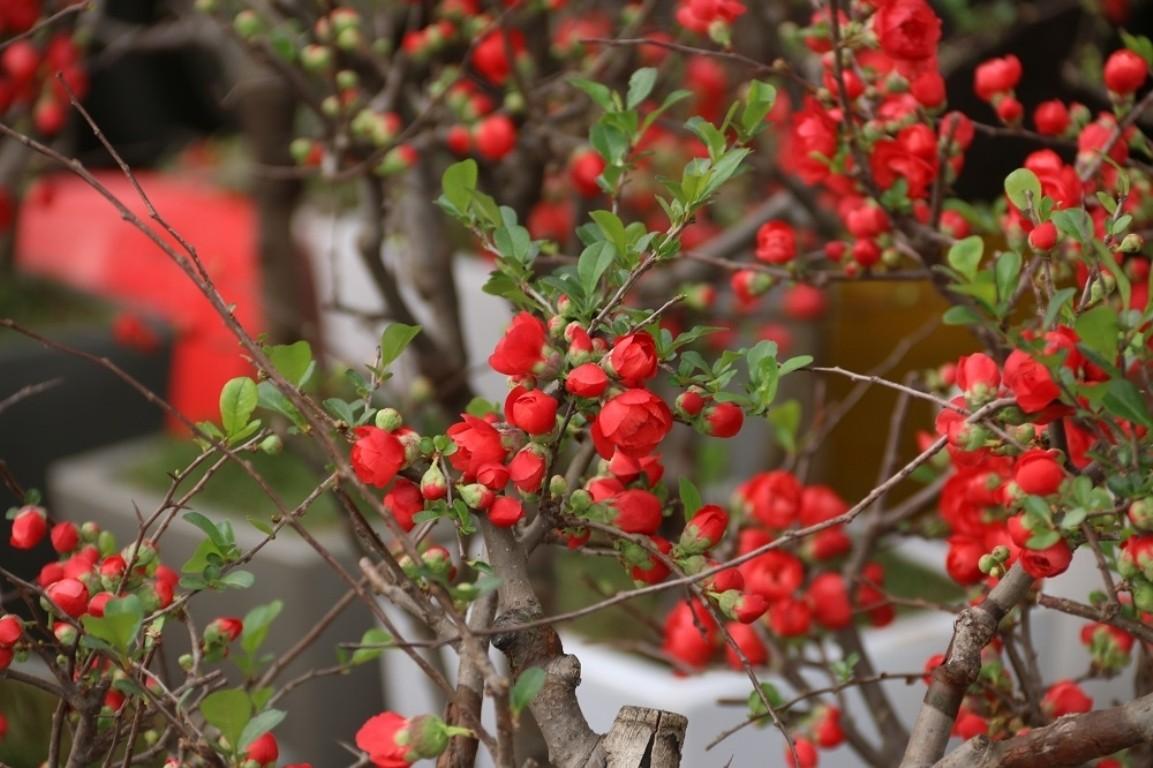 Hình ảnh cây hoa mai đỏ Bonsai đẹp nhất