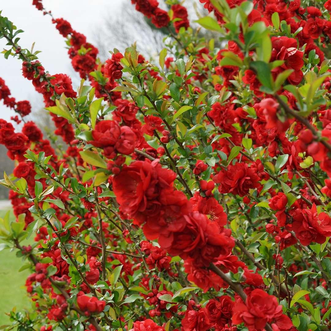 Hình ảnh cây hoa mai đỏ cực đẹp