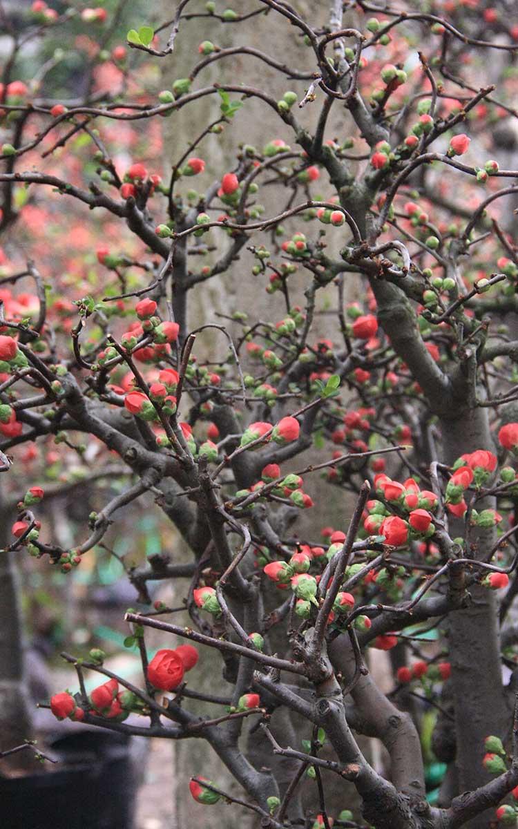 Hình ảnh cây hoa mai đỏ nở đẹp nhất