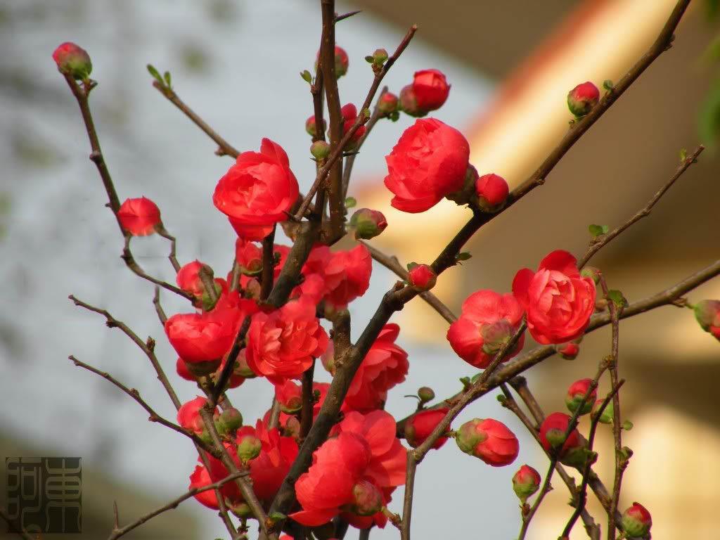 Hình ảnh cây mai đỏ ngày Tết đẹp