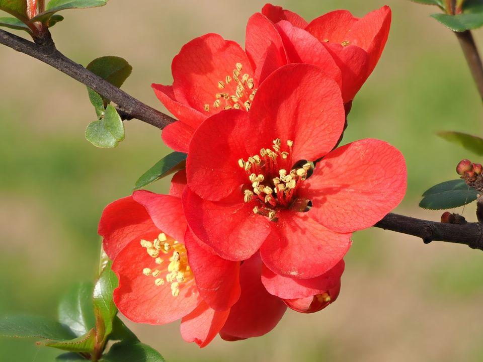 Hình ảnh chùm hoa mai đỏ nở đẹp
