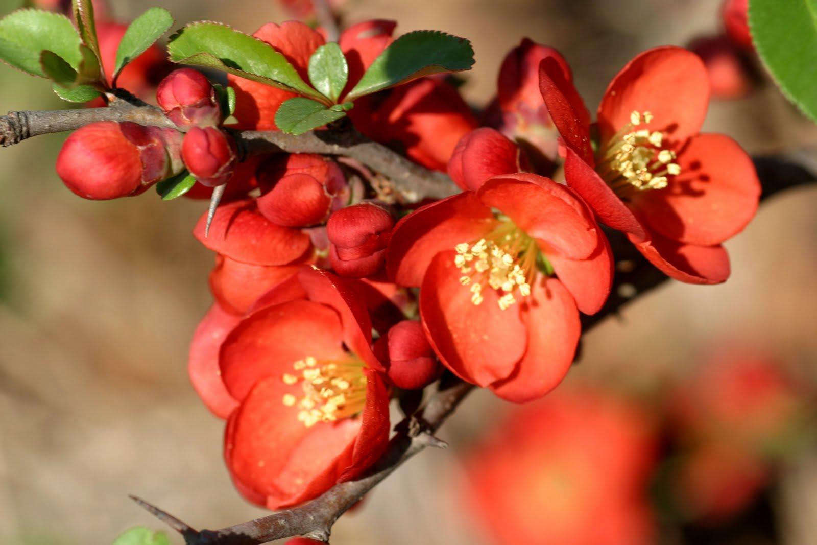 Hình ảnh chùm hoa mai đỏ nở