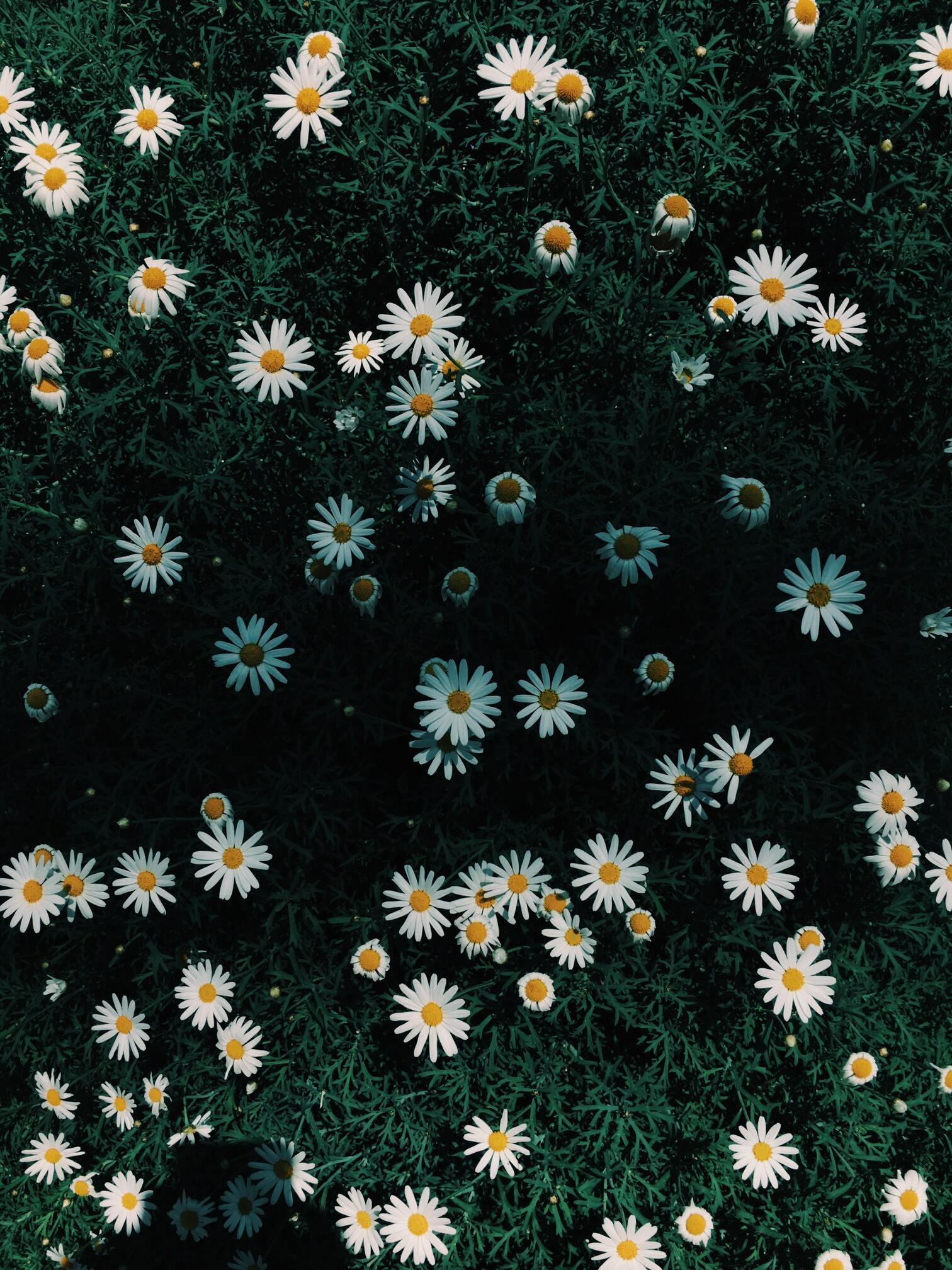 Hình ảnh hoa cúc dại buồn đẹp