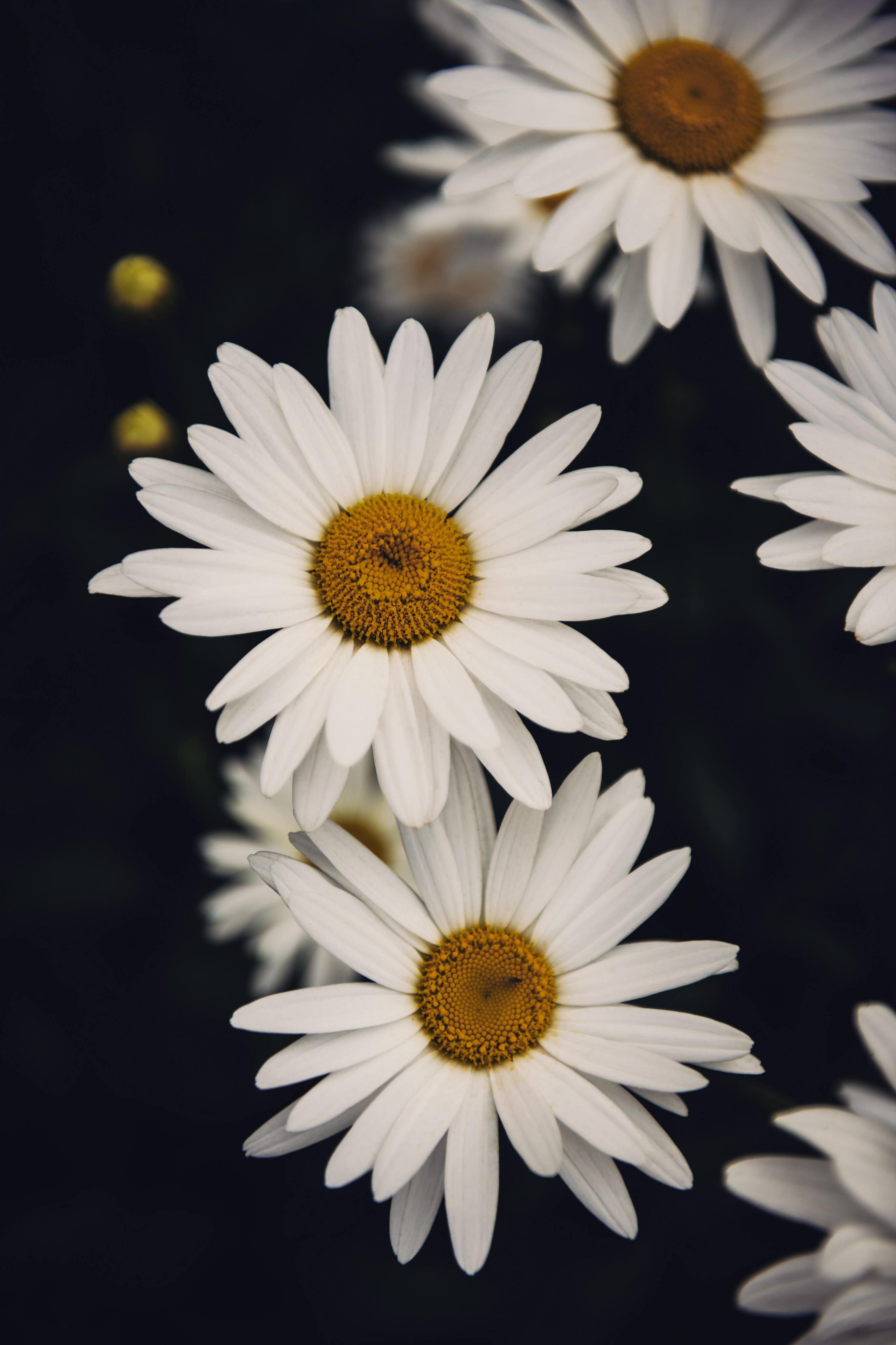 Hình ảnh hoa cúc dại buồn