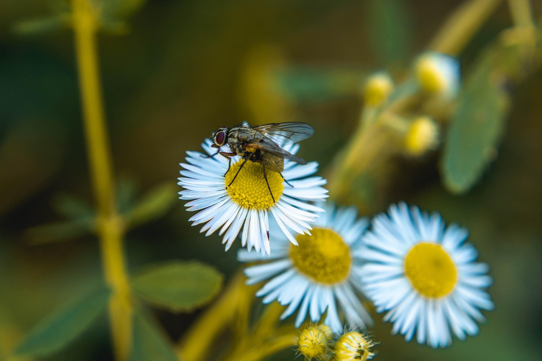 Hình ảnh hoa cúc dại cực đẹp