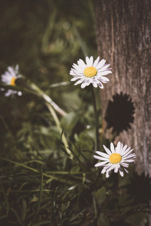 Hình ảnh hoa cúc dại đẹp nhất