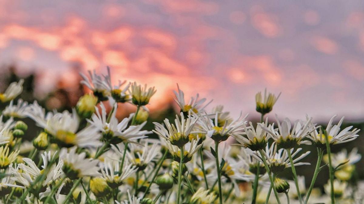 Hình ảnh hoa cúc dại hoàng hôn