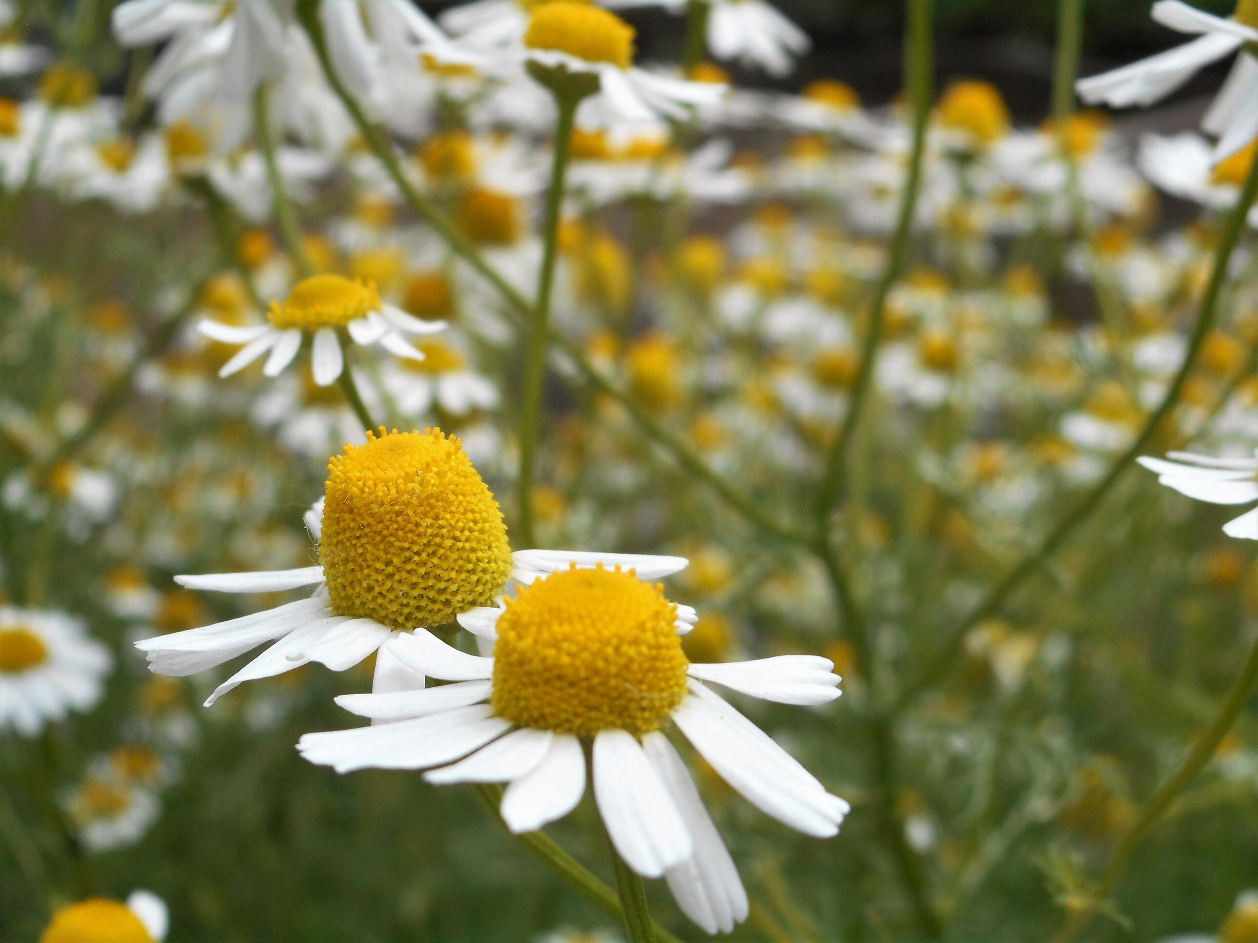 Hình ảnh hoa cúc dại nhị vàng