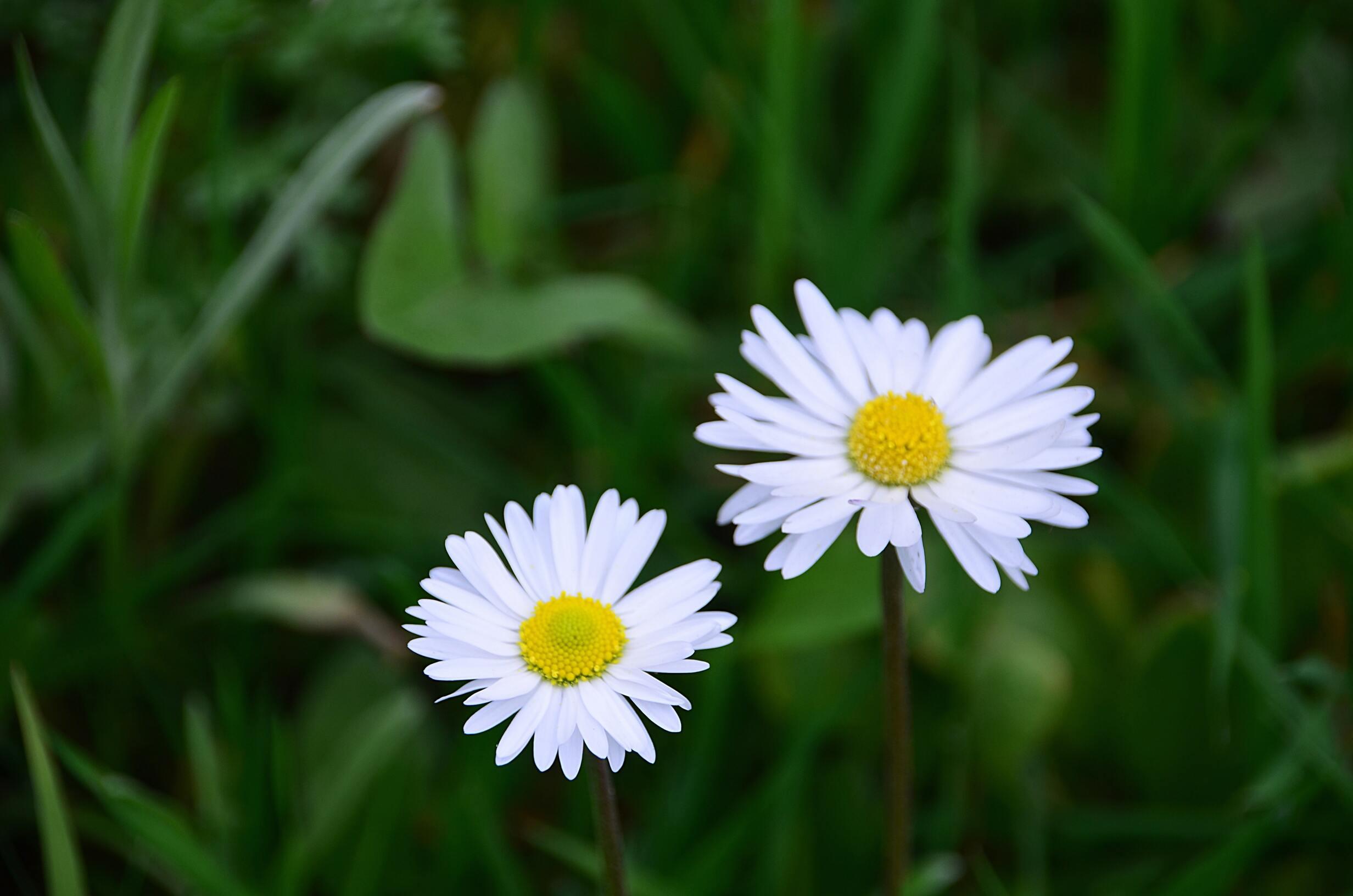 Hình ảnh hoa cúc dại nở cực đẹp