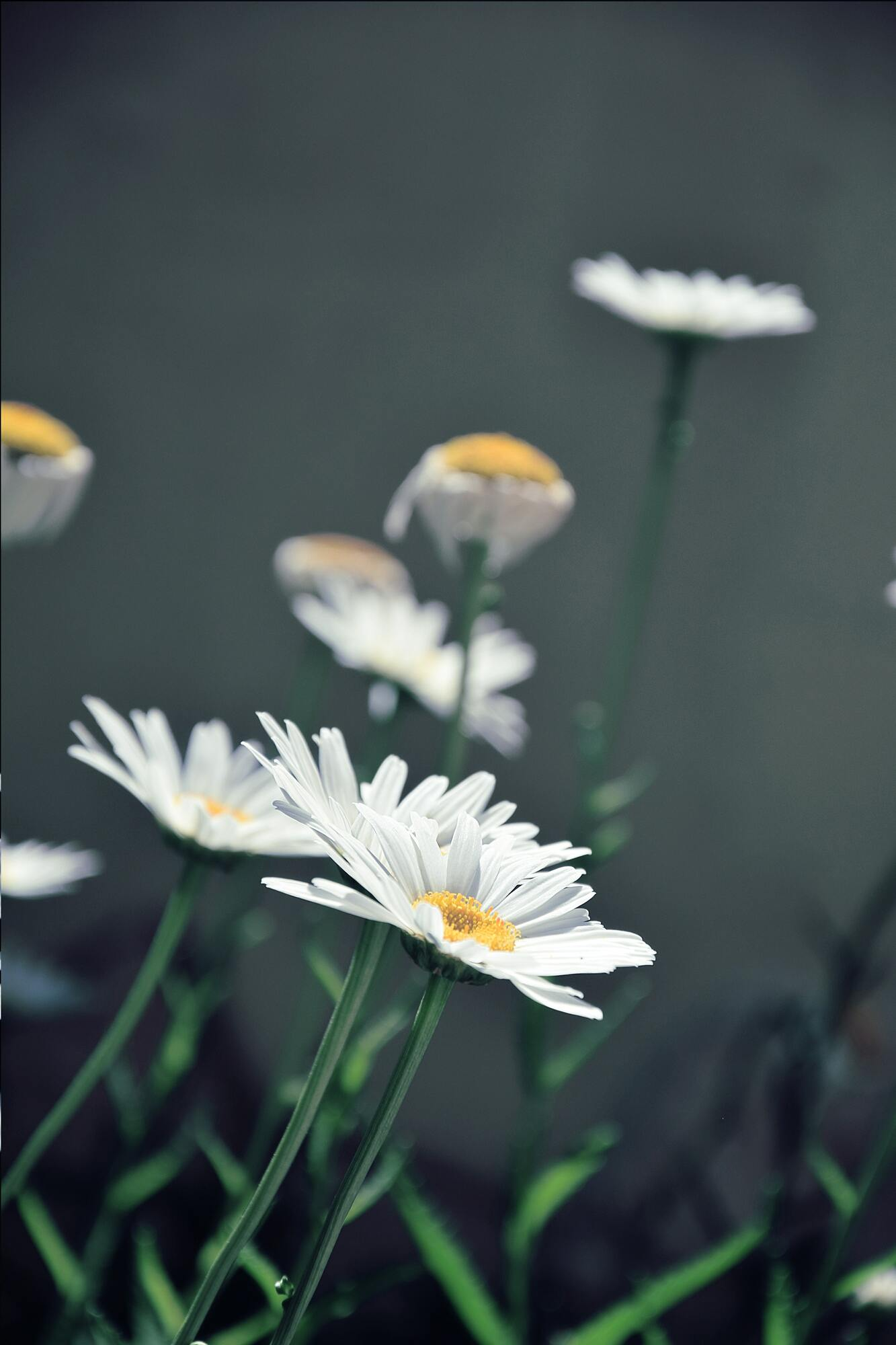 Hình ảnh hoa cúc dại nở