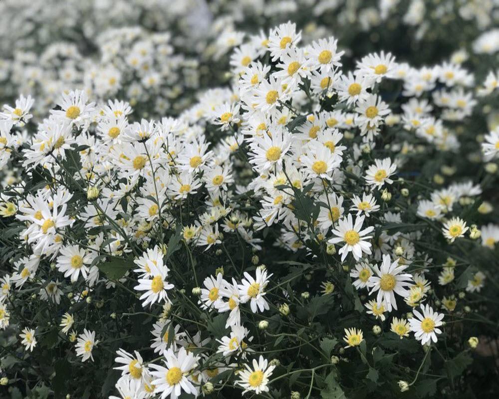 Hình ảnh hoa cúc dại tinh khiết