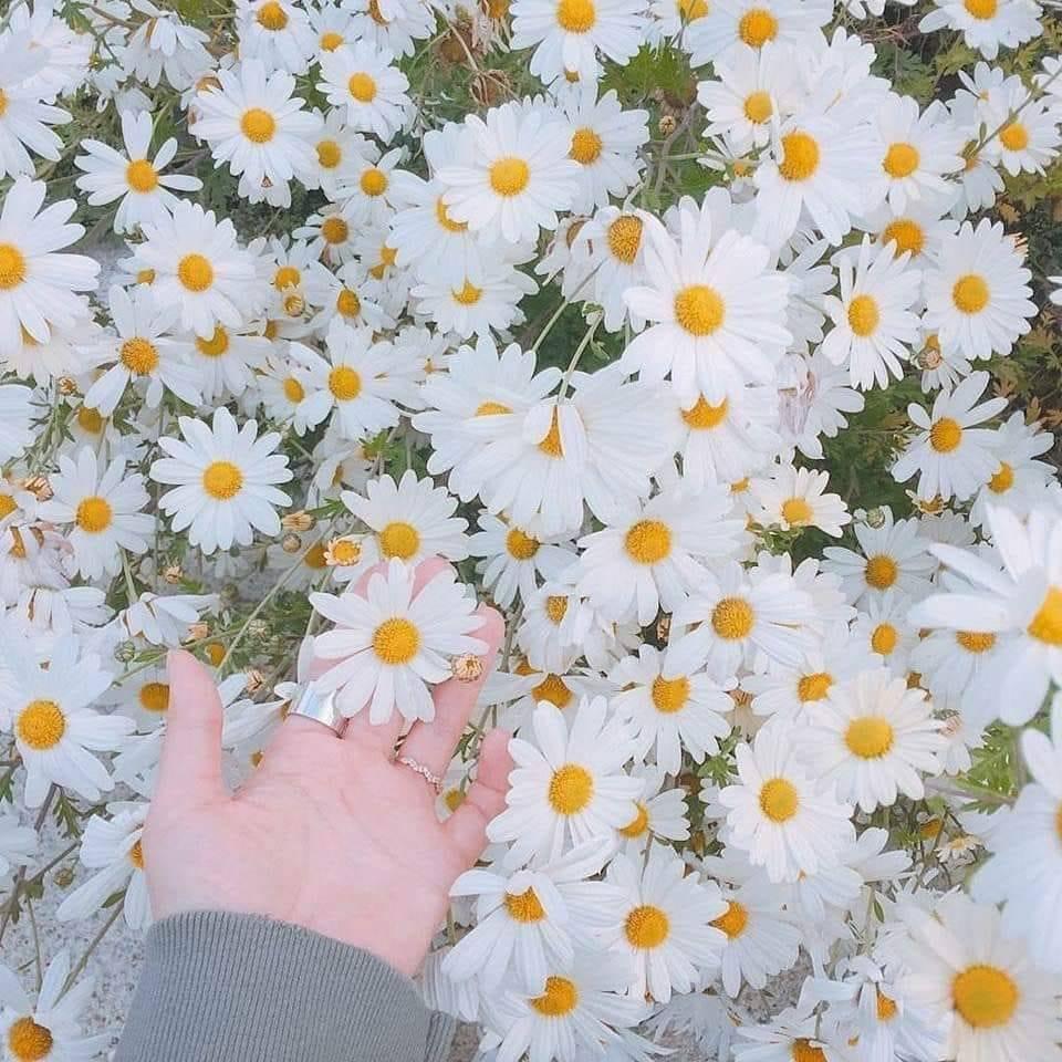 Hình ảnh hoa cúc dại trắng