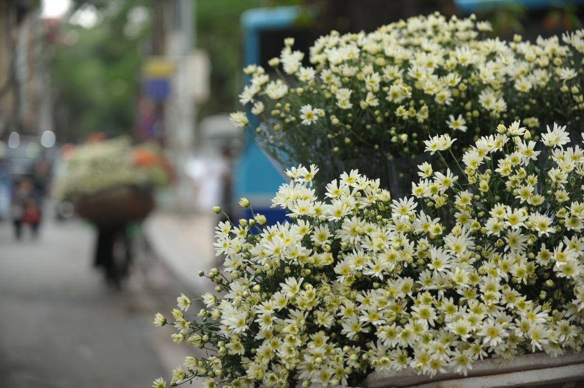 Hình ảnh hoa cúc hoạ mi