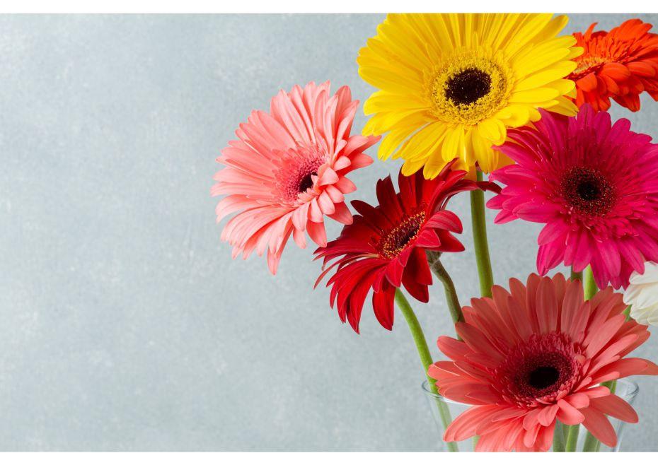 Hình ảnh hoa đồng tiền kép đẹp