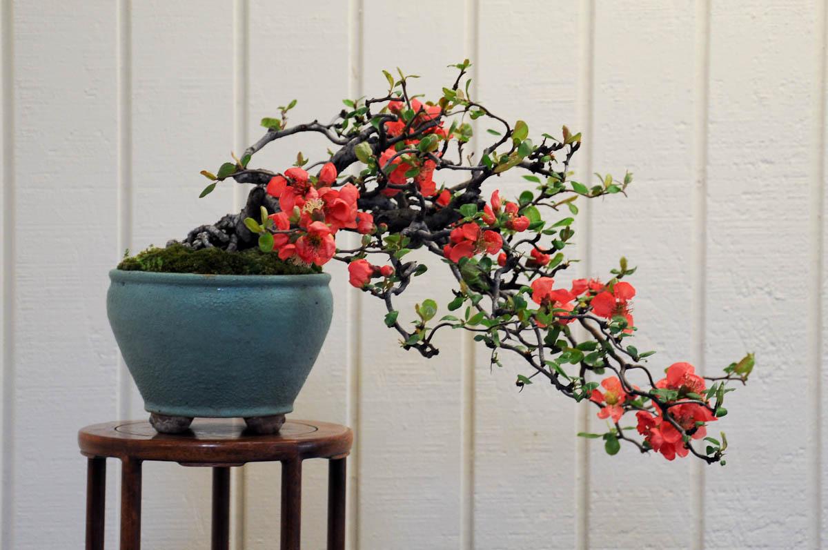 Hình ảnh hoa mai đỏ Bonsai đẹp nhất