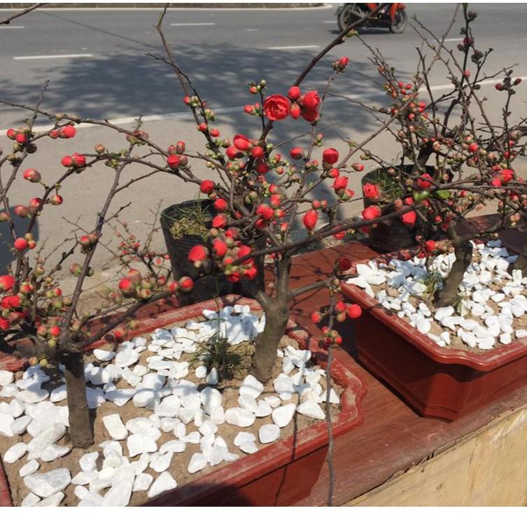 Hình ảnh hoa mai đỏ Bonsai đẹp