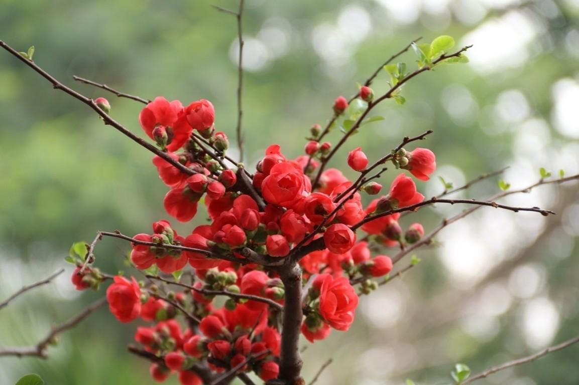 Hình ảnh hoa mai đỏ cực đẹp