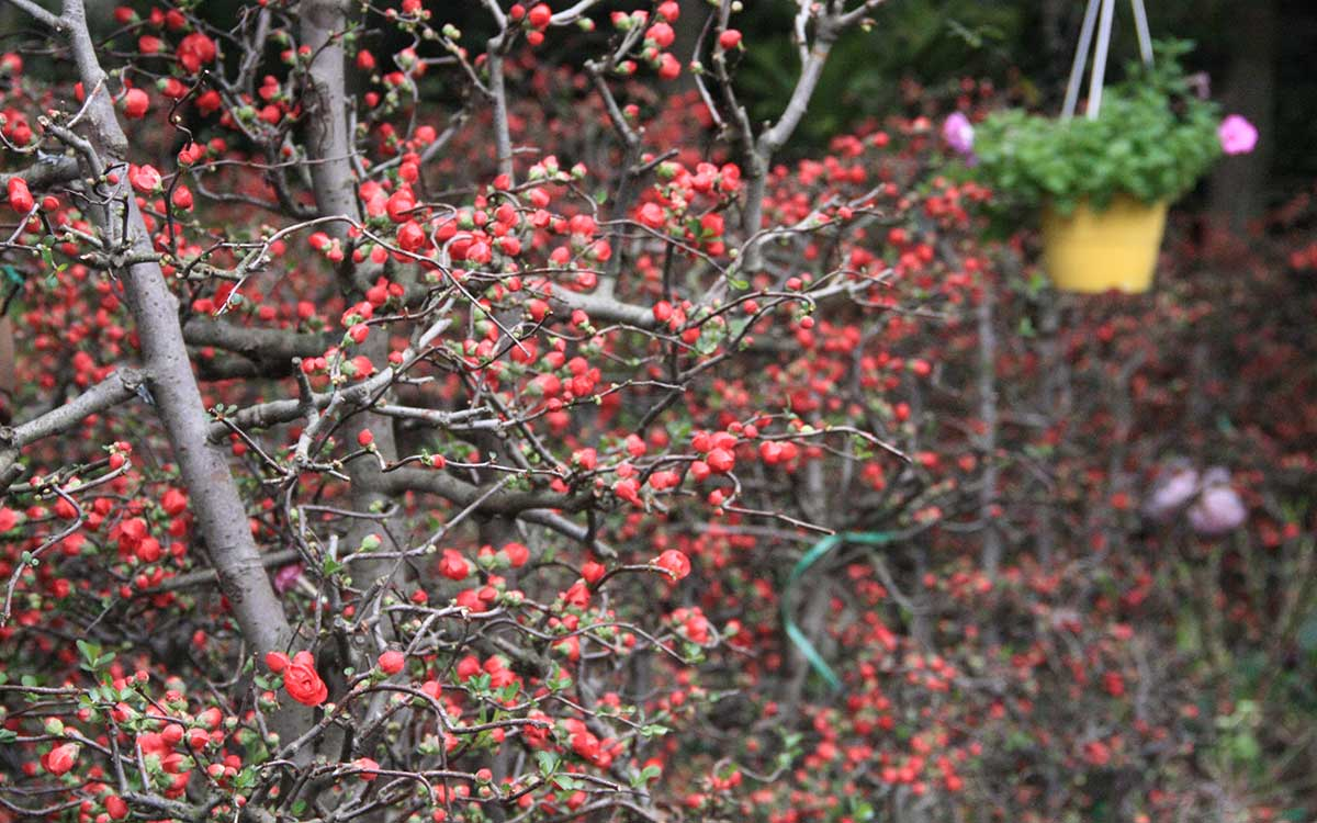 Hình ảnh hoa mai đỏ đẹp
