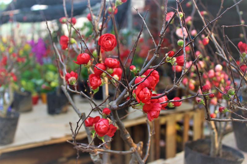 Hình ảnh hoa mai đỏ ngày Tết cực đẹp