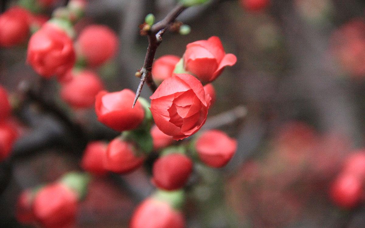 Hình ảnh hoa mai đỏ ngày Tết đẹp