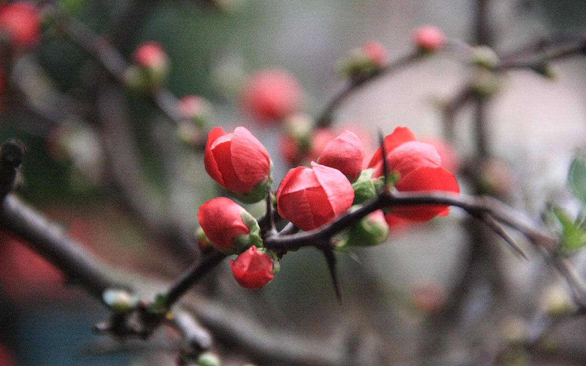 Hình ảnh hoa mai đỏ ngày Tết