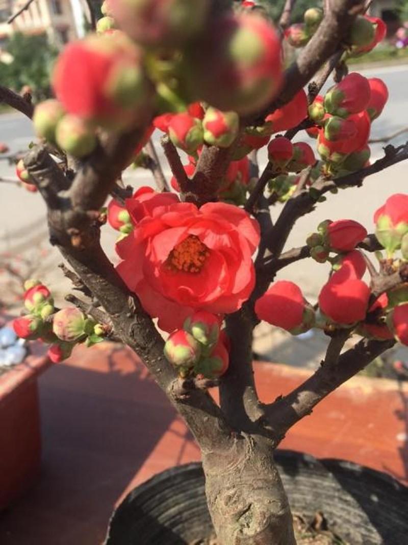 Hình ảnh hoa mai đỏ thắm đẹp