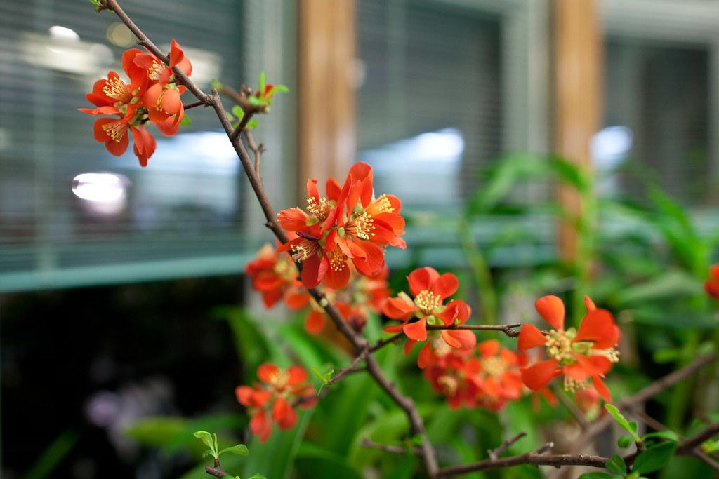 Hình ảnh hoa mai đỏ thắm ngày Tết cực đẹp