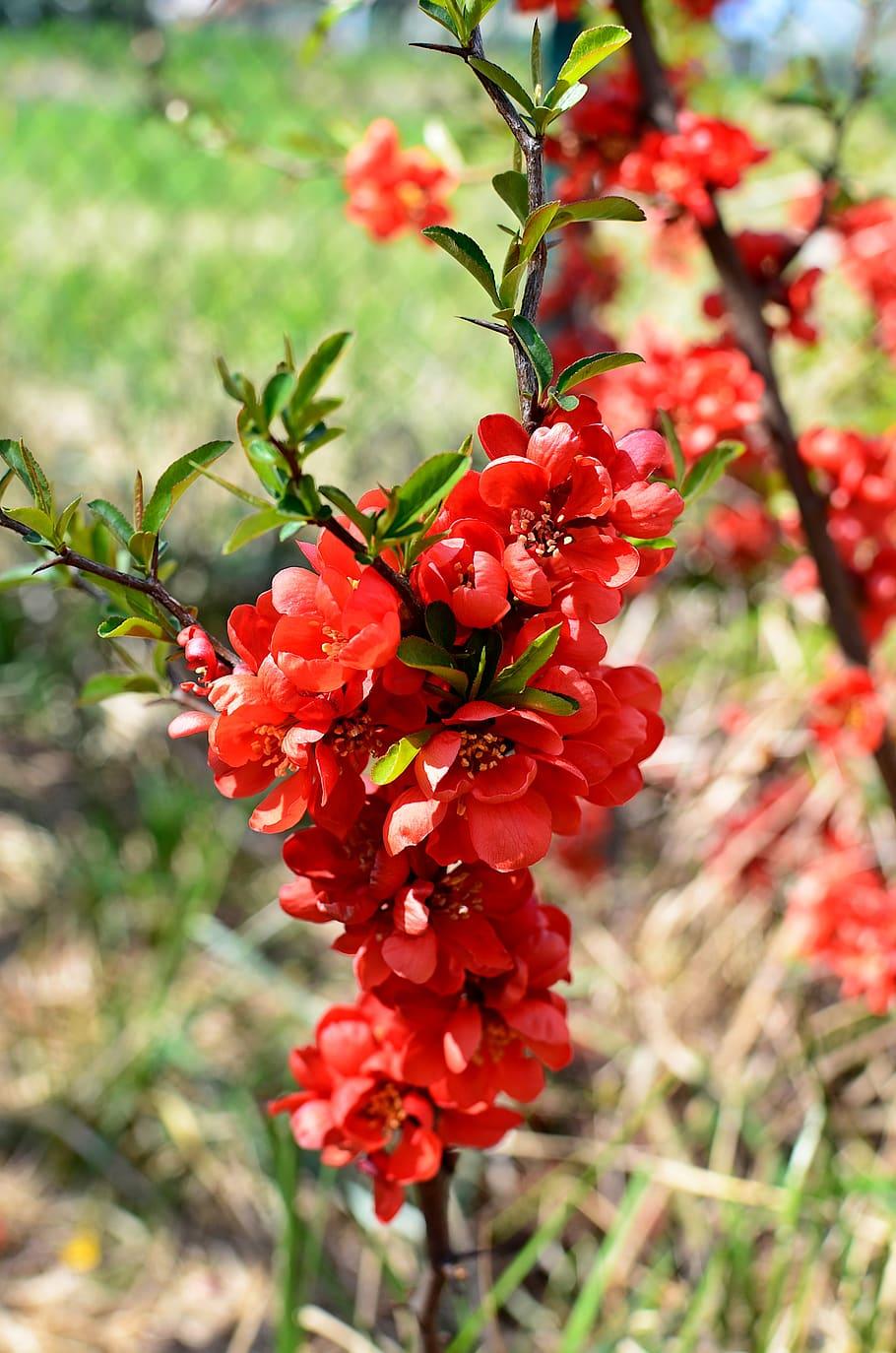 Hình ảnh hoa mai đỏ thắm