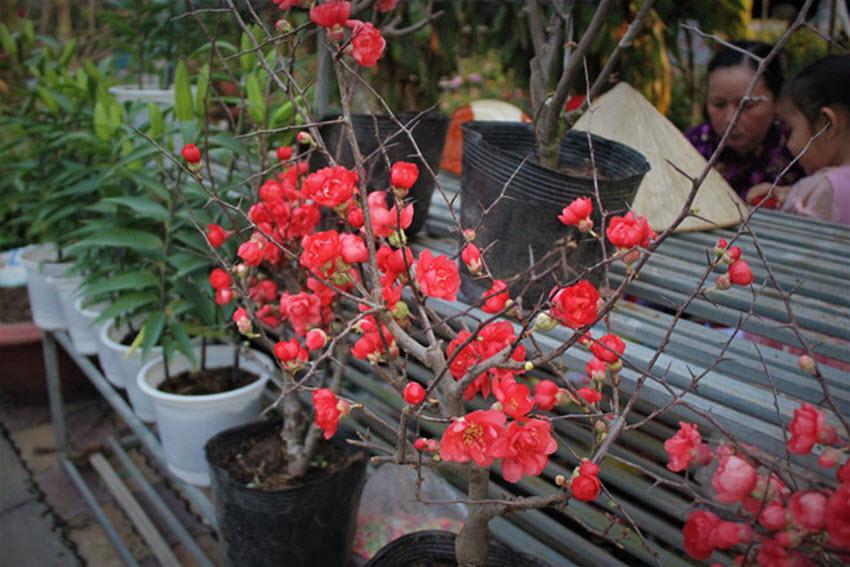 Hình ảnh hoa mai đỏ Trung Quốc