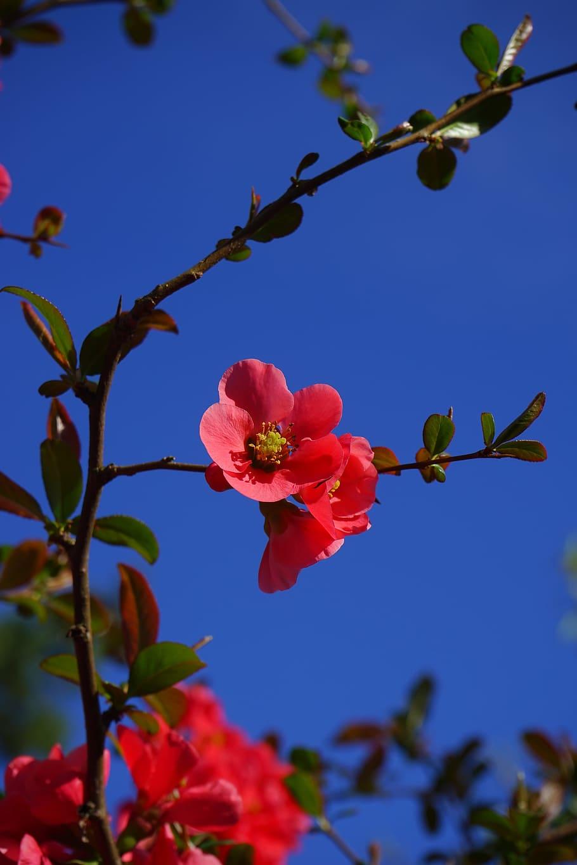 Hình ảnh hoa mai nở đỏ thắm