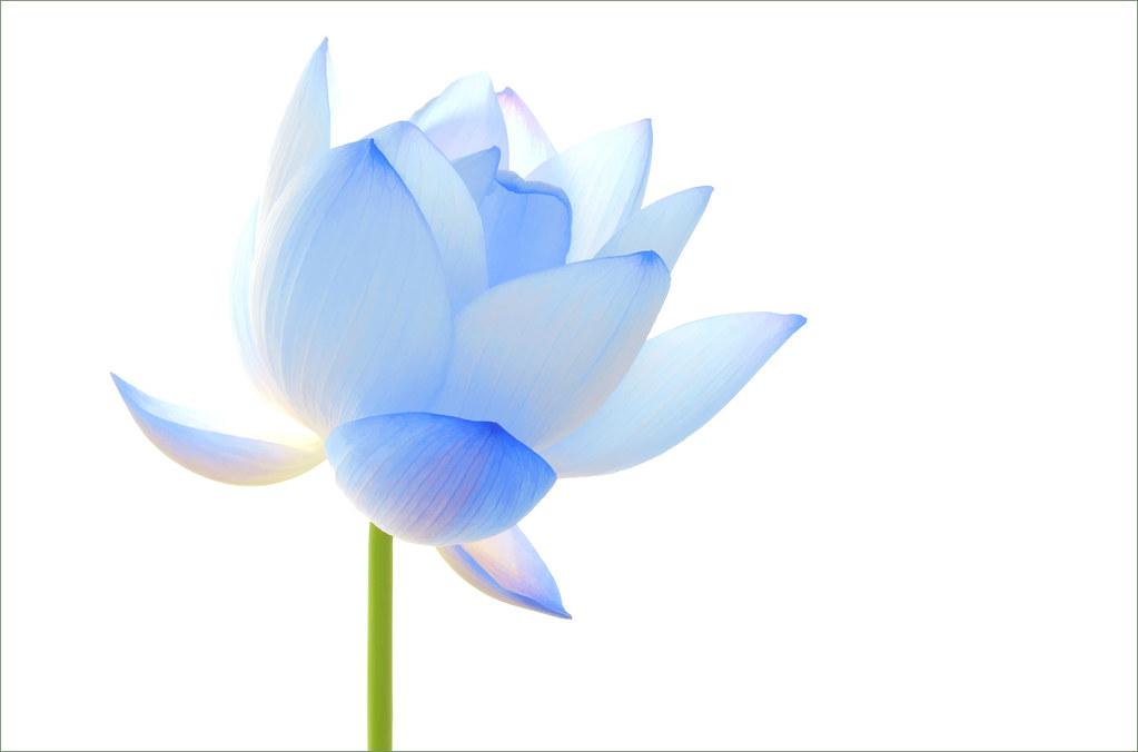 Hình ảnh hoa sen xanh biển đẹp