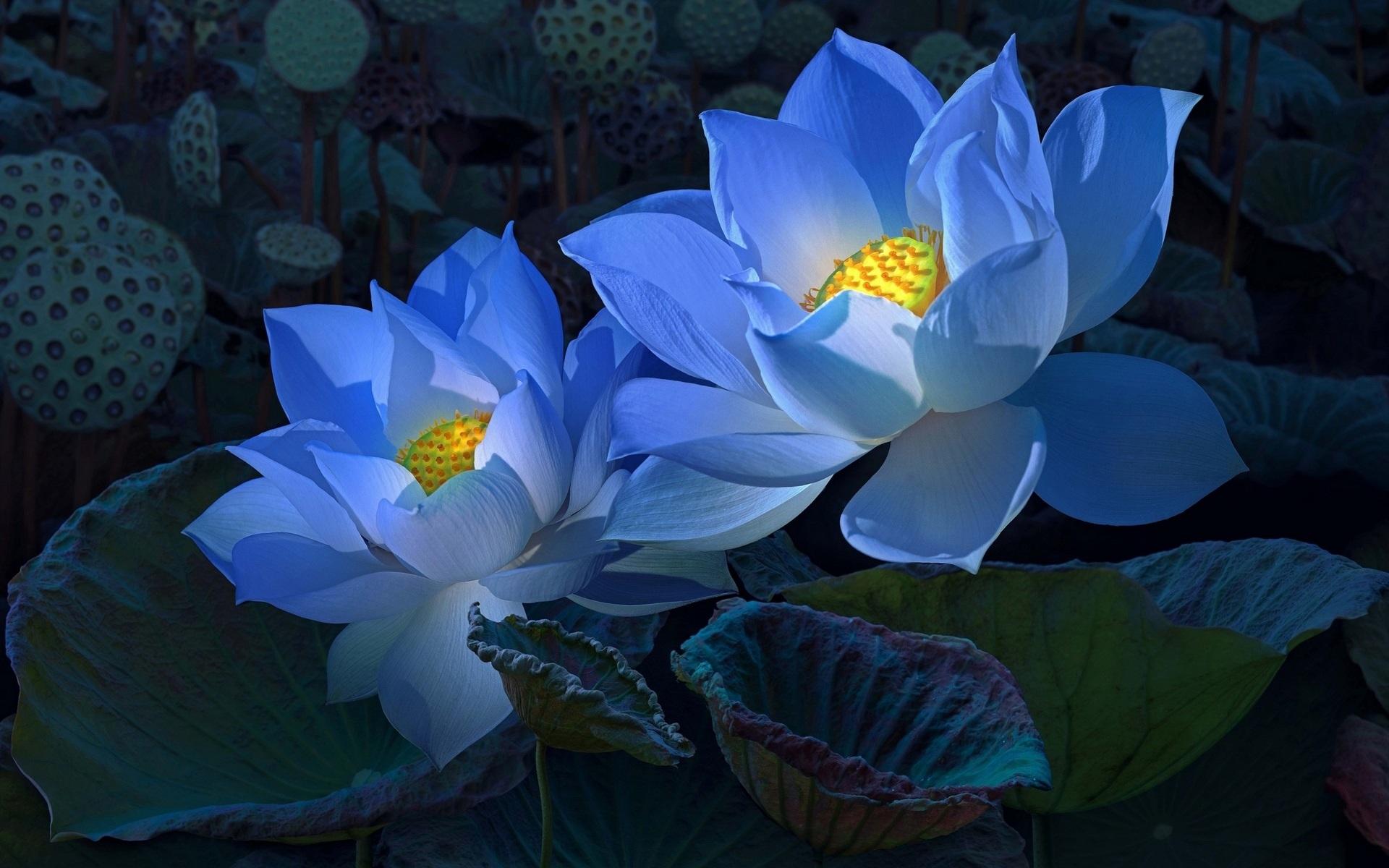 Hình ảnh hoa sen xanh biển nhạt