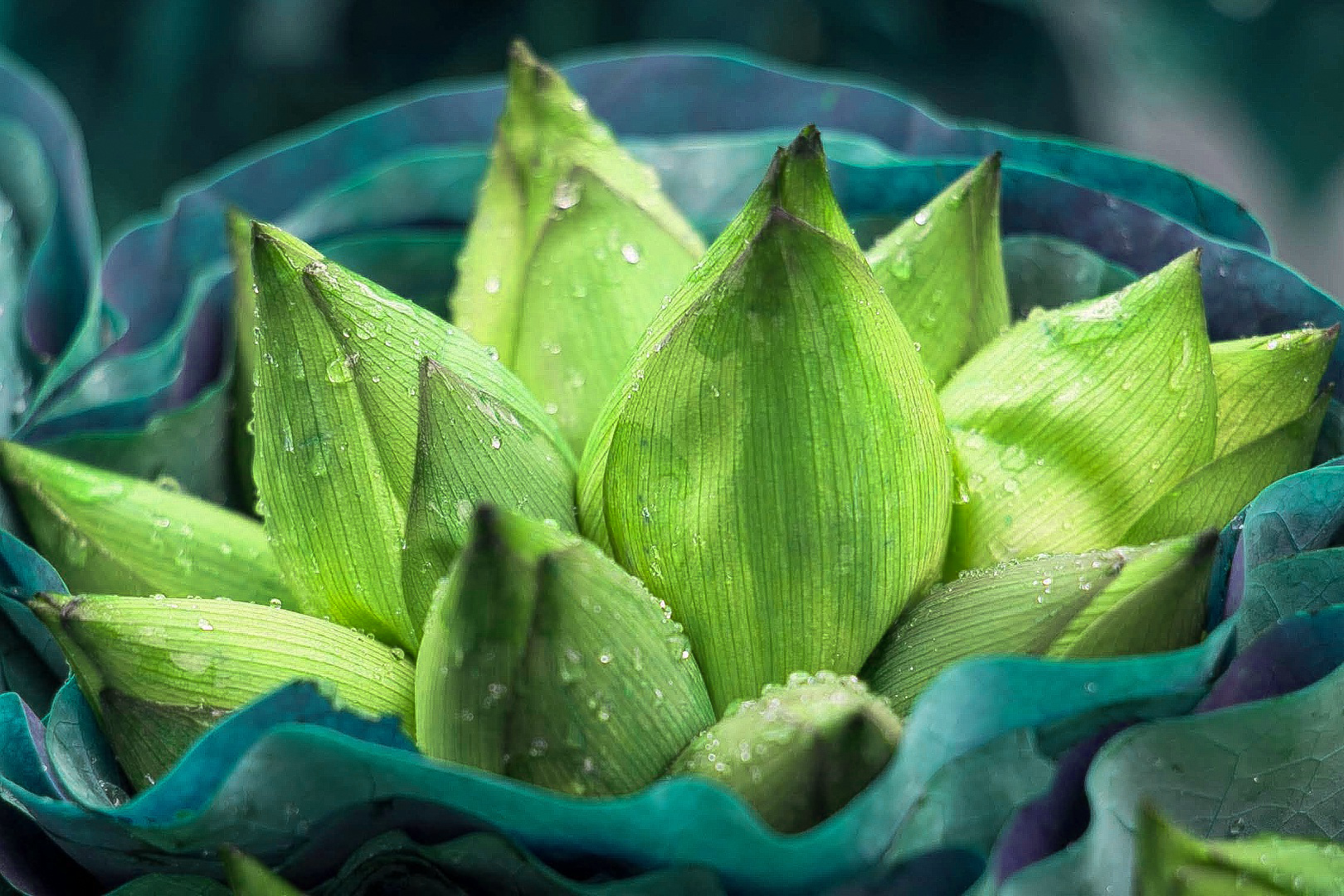 Hình ảnh hoa sen xanh lá đẹp nhất