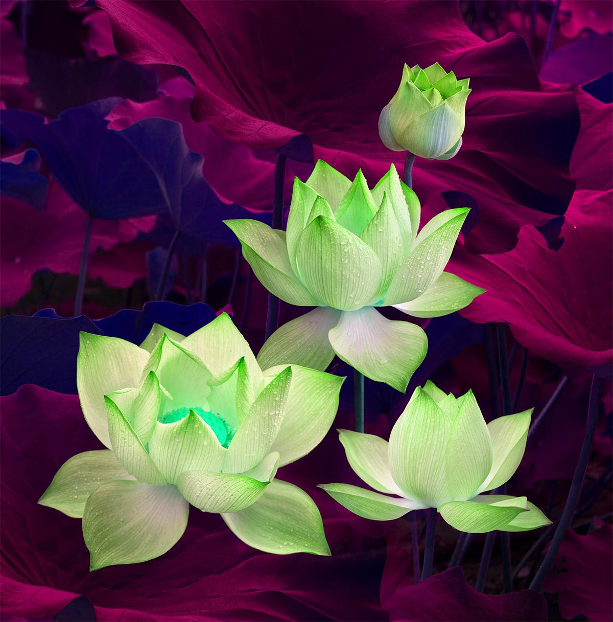 Hình ảnh hoa sen xanh lá nhạt