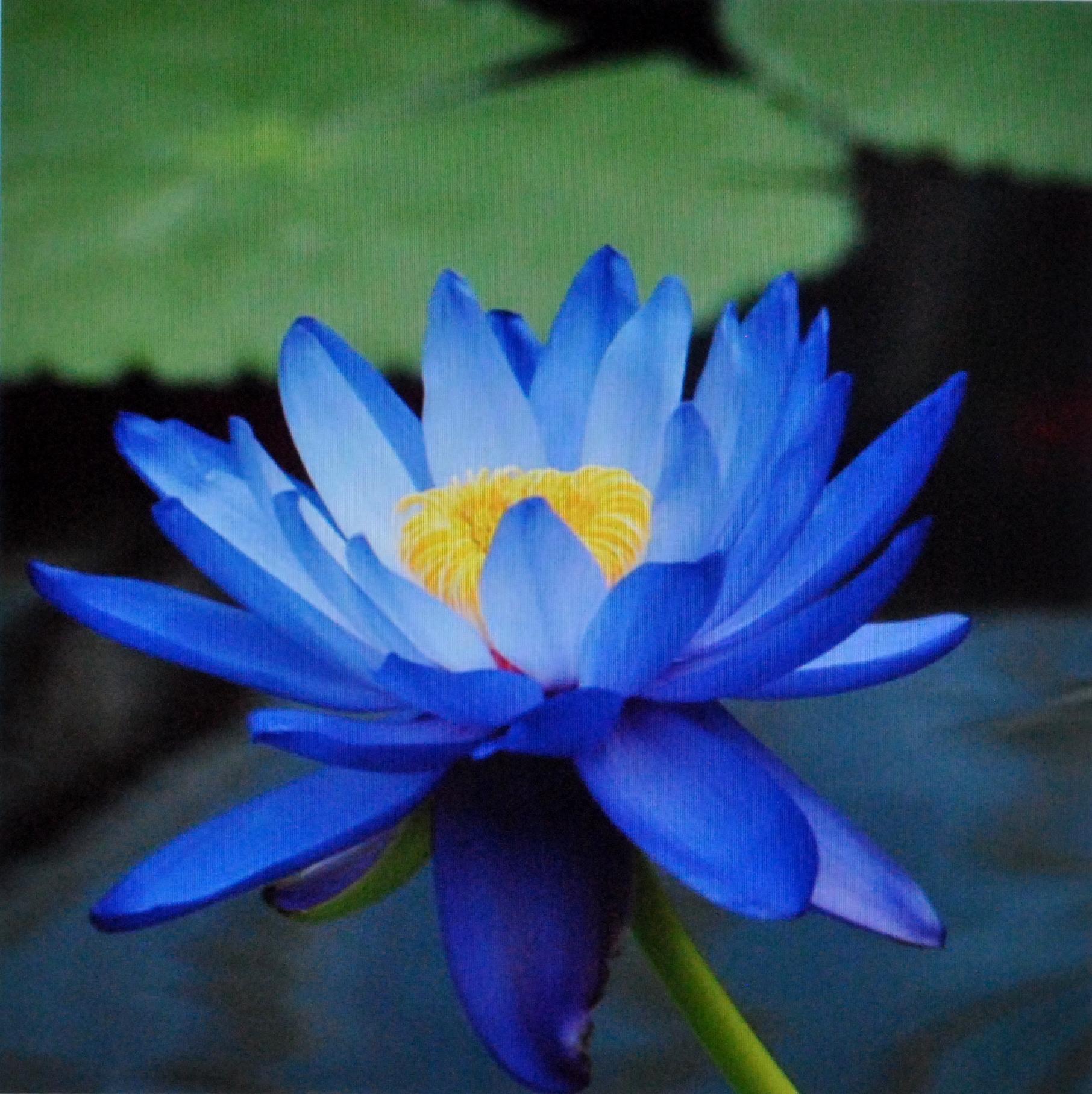Hình ảnh hoa sen xanh nhạt