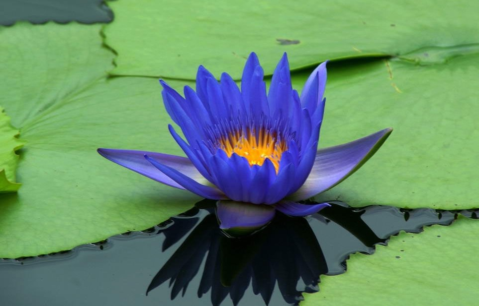 Hình ảnh hoa sen xanh tím than đẹp