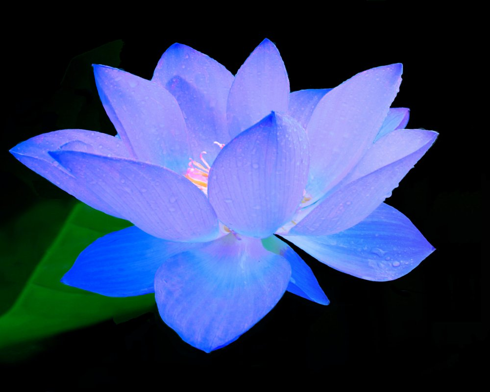 Hình ảnh hoa sen xanh tím